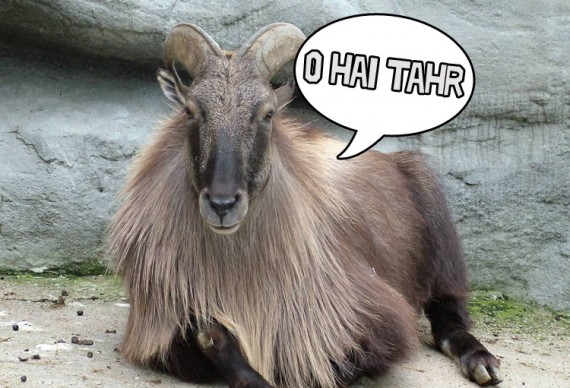 Stuffed_Arabian_Tahr-750x5243